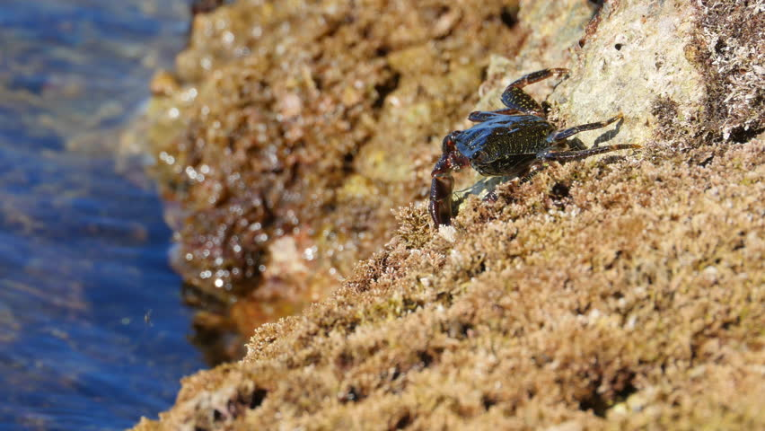 Carcinus maenas is an invasive species of Littoral crab. Here they search for food along a weed covered shoreline.