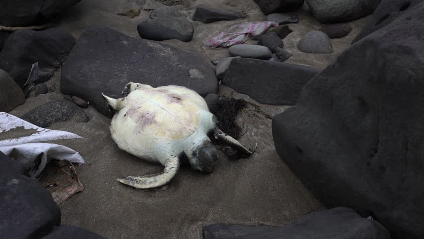 4K Dead sea turtle on a beach at the pacific coast of Taiwan. Marine animals among garbage from ocean. The Pollution is a serious threat to wildlife-Dan
