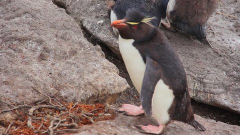 Rockhopper Penguin Waddling to Pick Up a Stick For Nest - Falkland Islands
