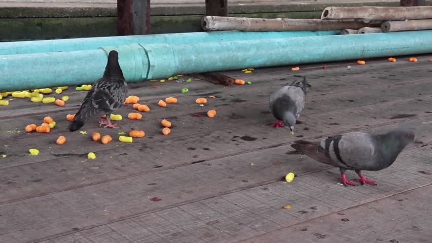 A group of Thai pigeons or doves are eating colorful fish food in the temple. | Shutterstock HD Video #1009295183