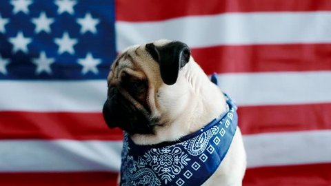 The young pug with american flag. Dor wear bandana on his neck.