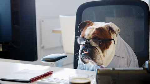 Bulldog wearing glasses looking at computer screen in office