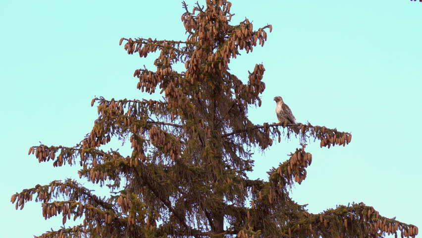 Red tailed hawk female bird perching high on coniferous tree turning its back and show side and rear view of body