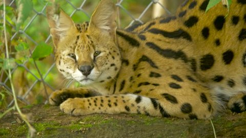 An African serval looks around and sniffs the air