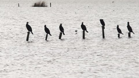 Group of seven birds on wooden pickets (plus another one floating on water) in the Massacciucoli lake (Tuscany). Waves, wind.