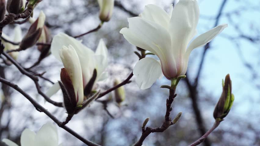 white magnolia flowers, flowers of white magnolia,white magnolia, white Magnolia flowers on tree branch, Magnolia tree blossom