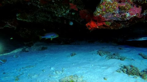 Two young Whitetip reef sharks swimming under coral cornices