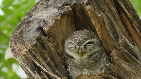 Spotted owlet on tree.