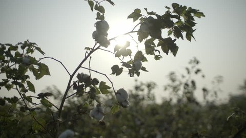 Organic cotton crop farm, sunrise flares between leaves, buds and branches into camera lens in slo-motion.