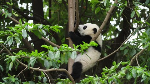 One Lovely Giant Panda Bear Cub in the Tree in Chengdu Research Base of Giant Panda Breeding