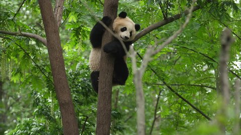 One Lovely Young Giant Panda Bear in the Tree in Chengdu Research Base of Giant Panda Breeding