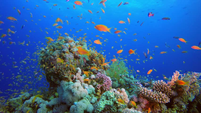 Beautiful Fish Marine Garden. Picture of a beautiful underwater colorful fishes and corals in the tropical reef of the Red Sea Dahab Egypt.
