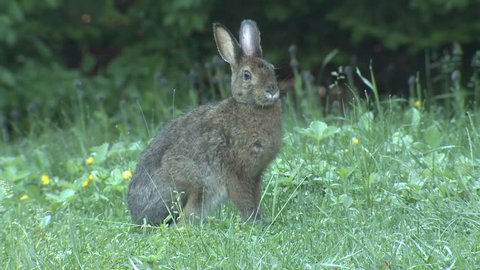 Snowshoe Hare Adult Lone Looking Around Summer