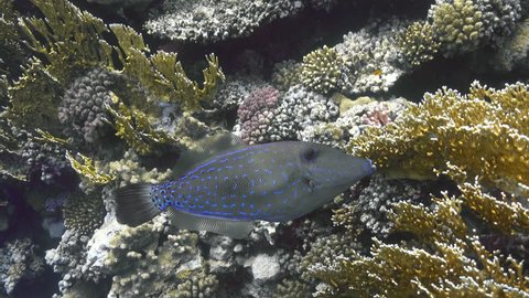 Scribbled leatherjacket filefish (Aluterus scriptus) on the coral reef, 4K ultra hd video footage