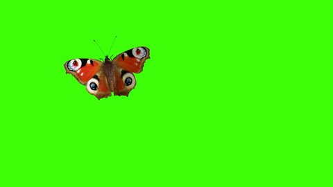 Peacock Butterfly Flying on a Green Background. Beautiful 3d animation with passes of shadow and global illumination. 4K