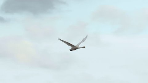 whooper swan bird animal in flight beautiful evening sky turning left