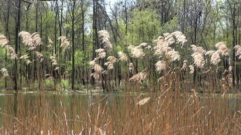 Spring reed and trees over forest pond in Poland