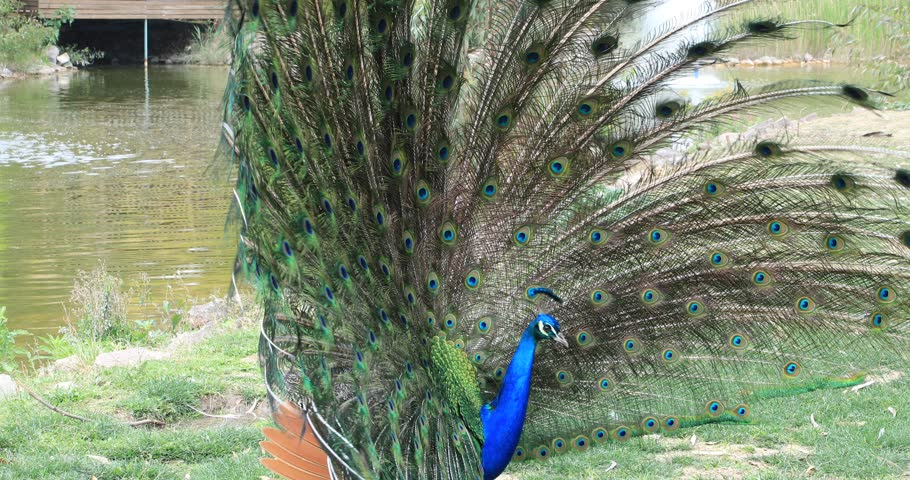 Portrait of a beautiful peacock with feathers out