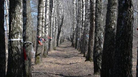 The girl runs forward along the birch grove in early spring