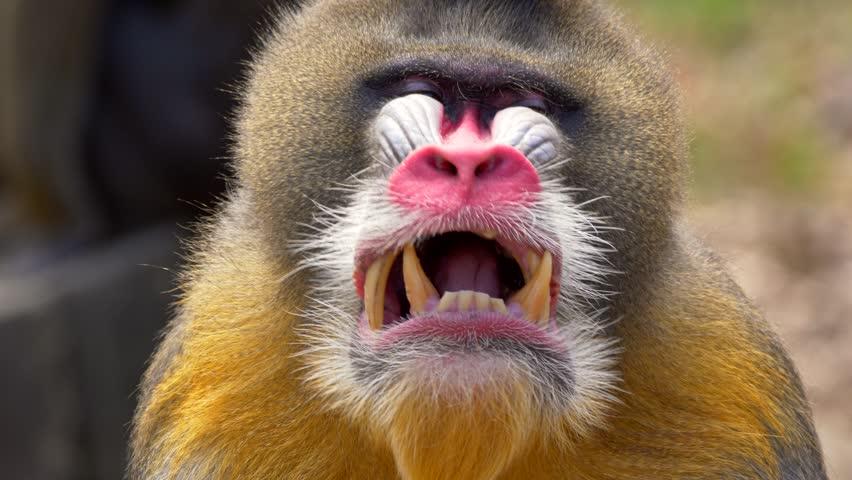 Mandrill (Mandrillus sphinx) yawning