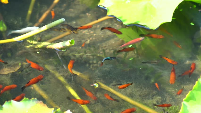 guppy fish swimming in the pond