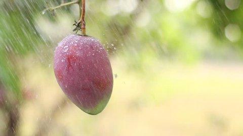 Watering Mango skin purple in the garden