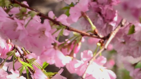 Cherry blossom in spring England 4K