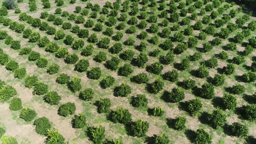 Aerial bird view footage of Citrus orchard genus of flowering trees these genus produce citrus fruits including important crops like oranges lemons grapefruit pomelo and limes 4k high resolution