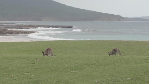 wild kangaroo in the Murramarang national park