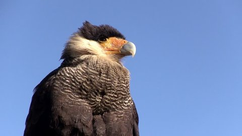 Southern caracara (Caracara plancus). Image in the Pantanal Biome. Mato Grosso do Sul state, Central-Western - Brazil.