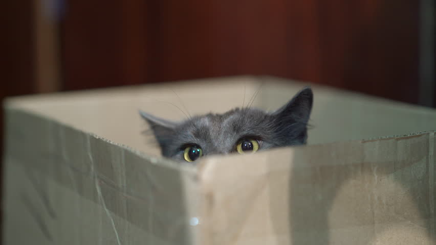 Cat's behaviour and body language. Scared cat puts down his ears while sitting in a box. Combination of the forward pointing alert ears and the flattened lowered fearful ears.