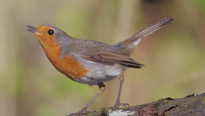 European robin. Displaying male in springtime. Erithacus rubecula. | Shutterstock HD Video #1010111243