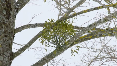 MS Mistletoe on bare tree in winter / Neustift, Upper Austria, Austria