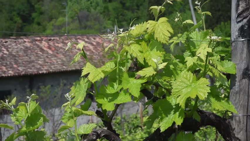 Conegliano, Treviso, Italy, vineyards for the production of Prosecco wine grapes