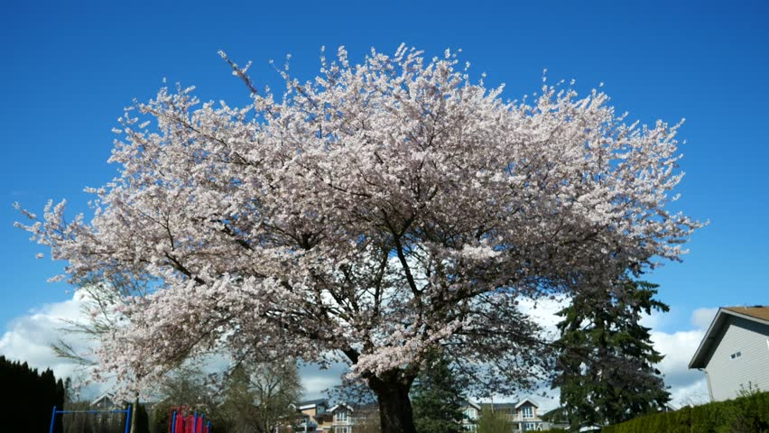 Cherry Blossom, Sakura  : Beautiful Vancouver is a new start with spring flowers. Burnaby, New Westminster, Langley BC Canada | Shutterstock HD Video #1010176823