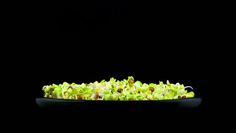 Timelapse of microgreens radish seeds sprouting and growing in a black bowl on black background side view