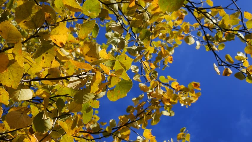 Autumn aspen, yellow foliage