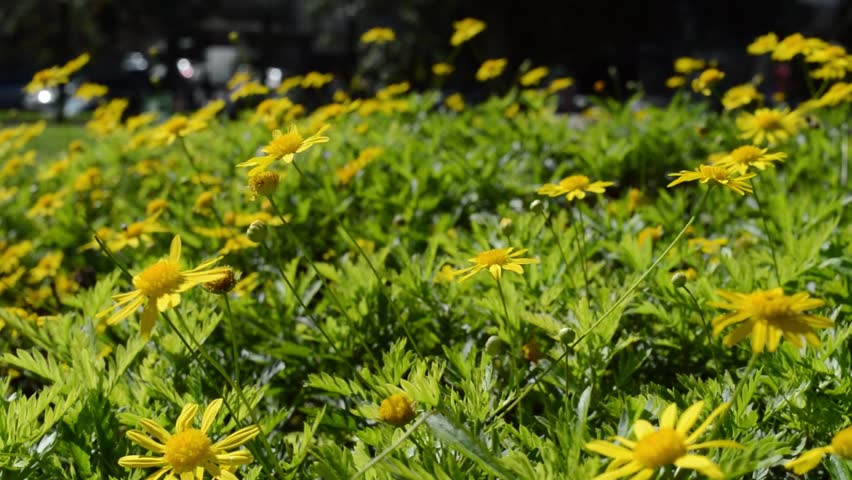 Yellow arnica flowers green grass in the park light wind  birds singing