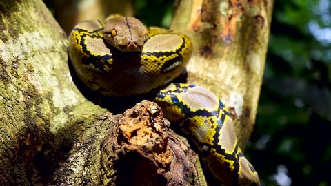 Beautiful close up facing of Phyton snake rest on the tree.