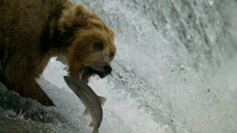 Brown grizzly bear Ursus arctos fishing for salmon in freshwater foam slow motion Katmai National Park Reserve Alaska USA