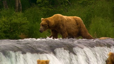 Large bears hunting for fish in fast flowing river Brooks Falls remote forest wilderness Katmai National Park and Reserve Alaska America