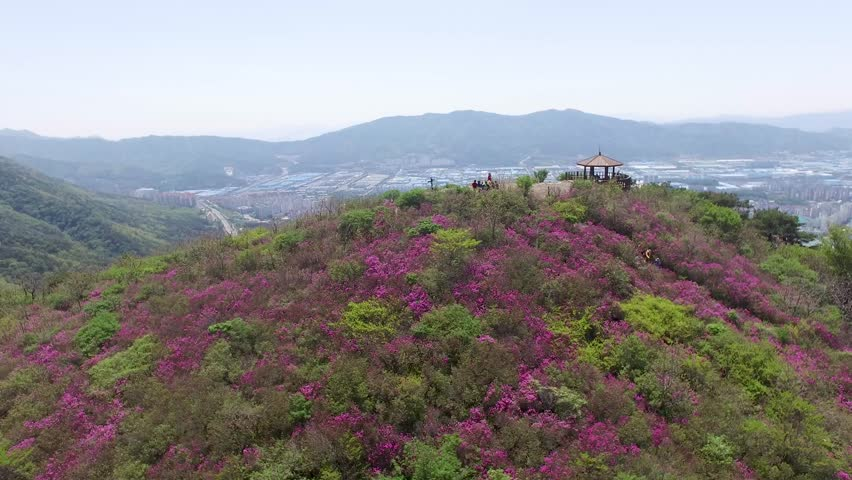 Cheoljjuk Royal Azalea Blossom Blooming in Bieum Mountain in Changwon , South Korea, Asia when Apr-25-2018. Cheoljjuk is korean name of Royal Azalea
