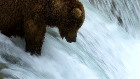 Brown bear river fishing at waterfall for food remote wilderness Katmai National Park and Reserve Alaska USA