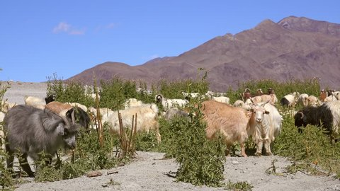 Herd of sheeps and Changthangi or Kashmir Pashmina goats eating herbs against beautiful Himalaya mountains and clear sky on background. Gorgeous domestic animals grazing at Himalayan highlands.