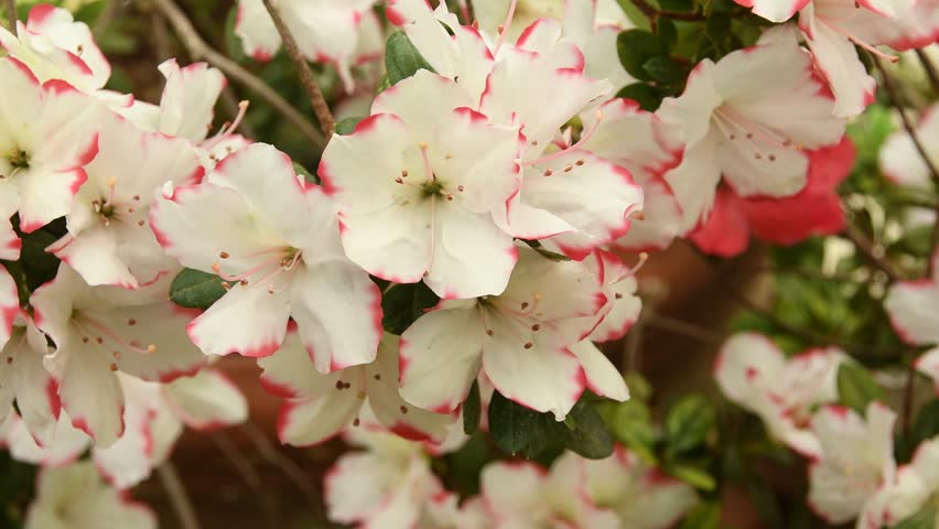 Close-up of white Azaleas (Rhododendron) flowers in springtime. 4K UHD Nikon D500