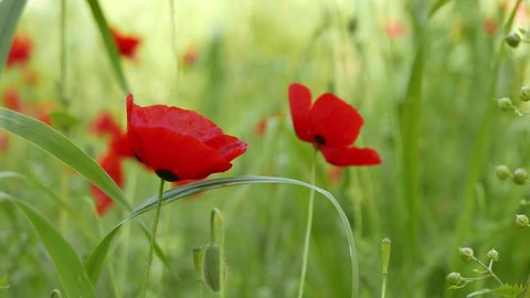 Close up shot of poppy flowers in the spring. The videos were taken around various Mediterranean forests. A bee can also be seen.