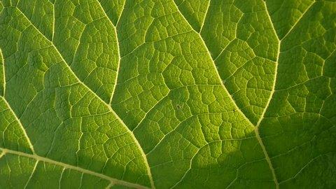 Burdock leaf macro. Arctium. HD video.