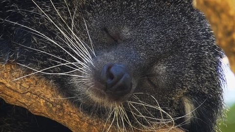 Cute binturong. with its thick. bristly whiskers and thick fur. sleeping peacefully on a tree branch in its natural habitat. FullHD 1080p video