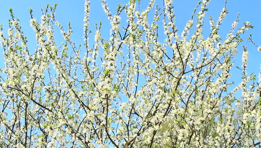 Blooming plum tree, plum-tree branch covered with white flowers and foliage on blue background. Blossoming tree of plum on background of blue sky. Branches of blossoming plum tree