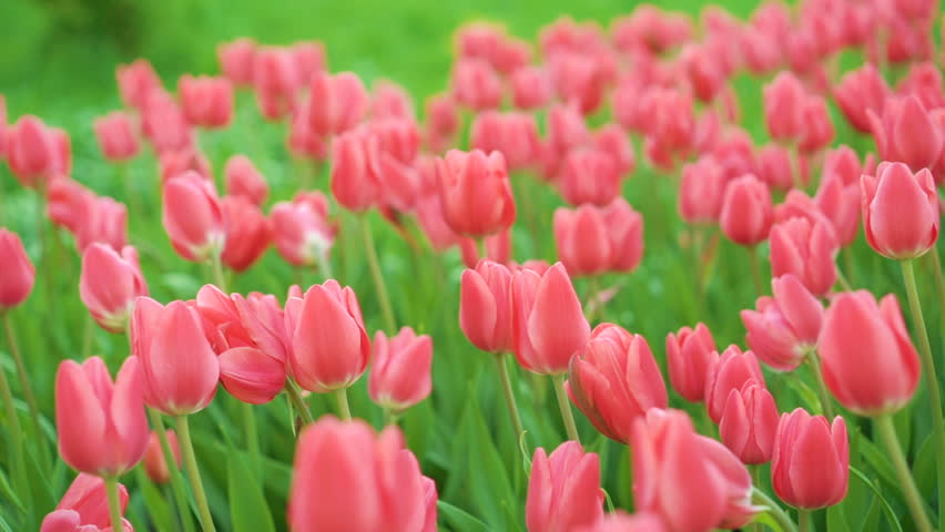 Tulips blossomed. Fresh flowers tulips swaying in the wind. A large number of tulips with pink buds create a pink field